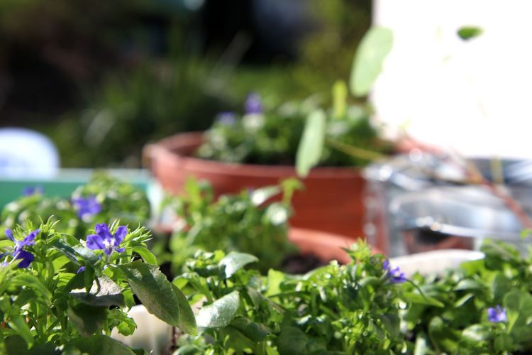 Springtime - my plants are growing😊 Gardening Lobelia Plants Flowers Springtime Sunlight Growing Focus On Foreground Flower Leaf Flowerbed Flower Head Front Or Back Yard Flower Pot Cultivated In Bloom Planting