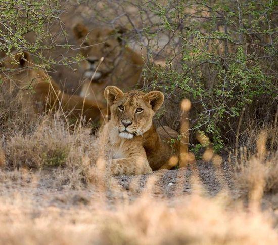 Animals In The Wild Animal Wildlife Lioness Animal Themes Safari Animals Tarangire Tanzania