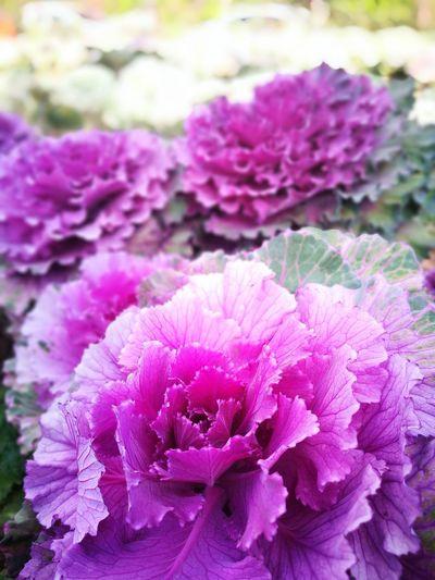 Purple Cape Cauliflower Flower ดอกกะหล่ำปี ดอกไม้