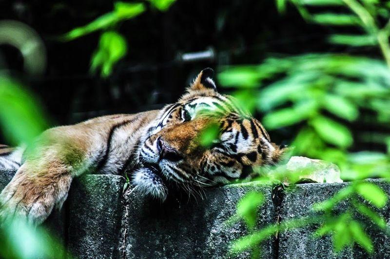 Tiger Forest