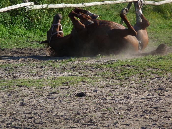 Horse lying on grass