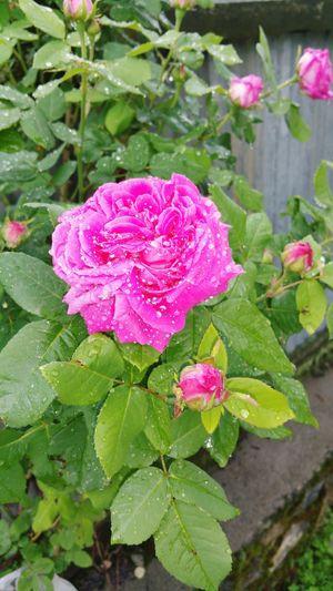 Rose🌹 Rain Drops Rain Drops On Roses Flowers Rose Bud Rose Bush Kashmir Haftrada Handwara Nature On Your Doorstep