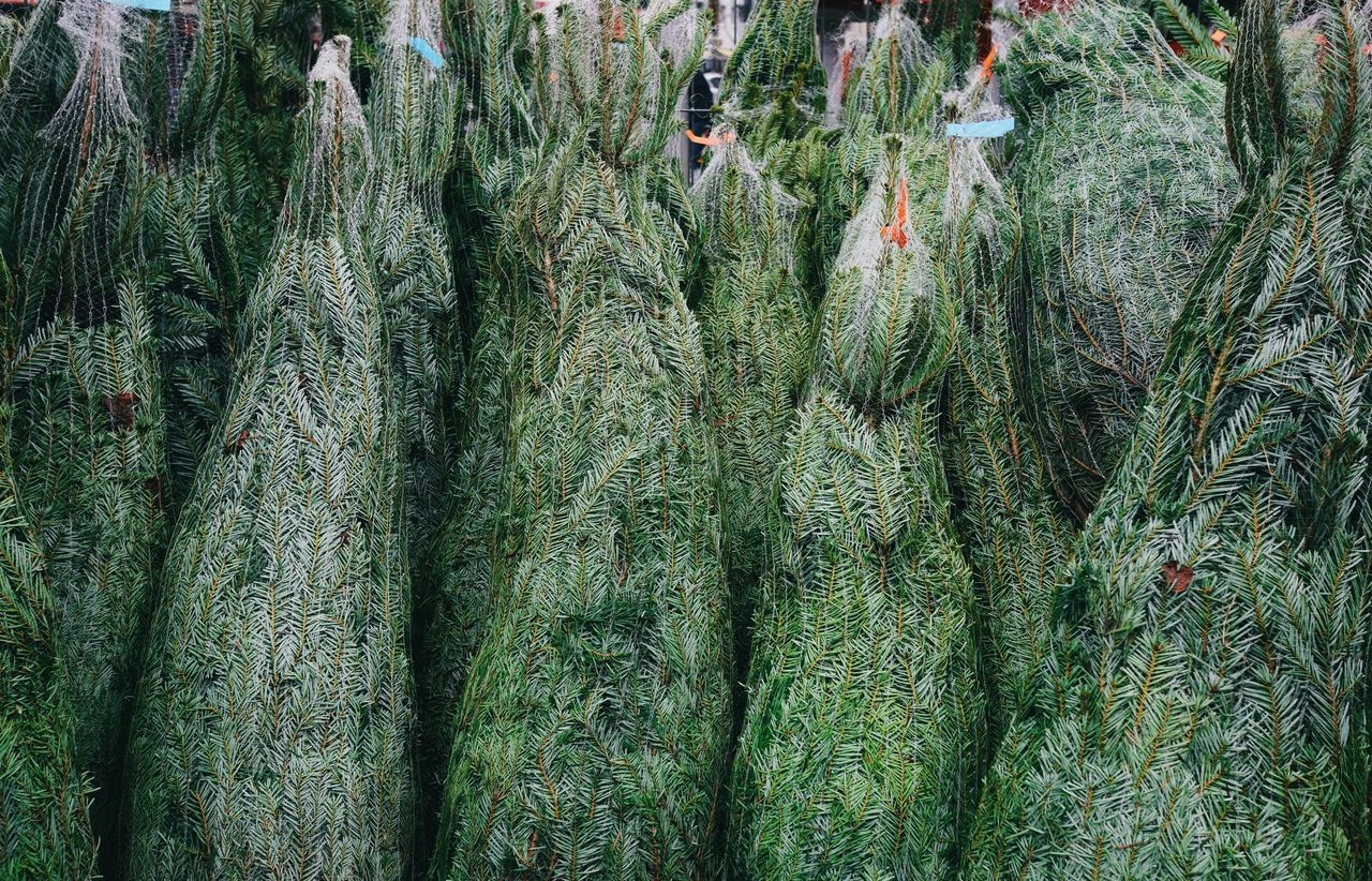 Full Frame Shot Of Wrapped Christmas Trees Outdoors