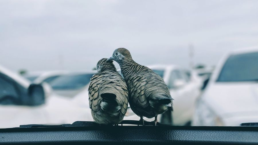 Rear View Of Birds Perching By Windshield In Car