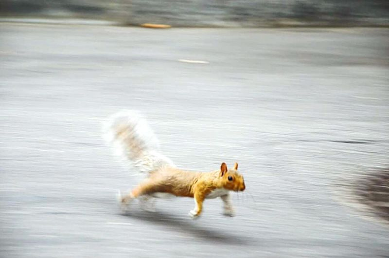 Running squirrel Squirrel Panning High Speed New York Street Running Central Park Focus On Foreground Focus Animal Themes One Animal Animal Big Eye NYC NYC Photography NYC Street Photography
