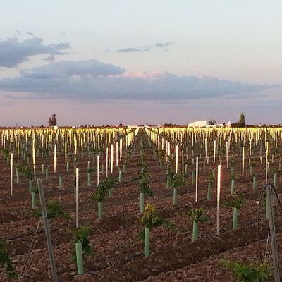 Al caer la tarde, los últimos rayos de Sol se reflejan en los postes del Viñedo con este espectacular resultado. Son de Acero galvanizado pero parecen de Oro . Viña Vineyard Vino Wine Tomelloso Sinfiltro Sunset Puestadesol