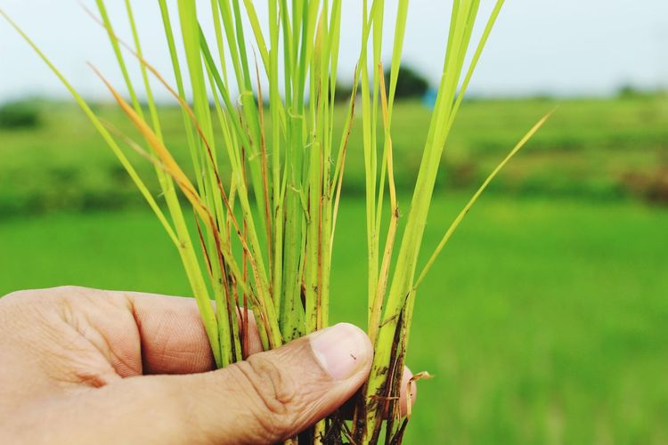 paddy on hand Pasdy Paddy On Hand Serial Plant On Hand Paddy Plants Field Paddy Pant Closeup EyeEm Selects Human Hand Cereal Plant Wheat Agriculture Field Holding Ear Of Wheat Men Crop  Rural Scene Cultivated Land Plantation Rice Paddy Rice - Cereal Plant Irrigation Equipment Combine Harvester Cultivated Farmland Harvesting Organic Farm Agricultural Field Farm