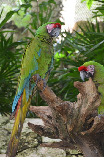 Green Color Looking At Camera Mexico Animal Animal Themes Animal Wildlife Animals In The Wild Bird Branch Day Focus On Foreground Green Parrot Group Of Animals Multi Colored Nature No People Outdoors Parrot Perching Plant Togetherness Tree Two Animals Two Parrots Vertebrate EyeEmNewHere