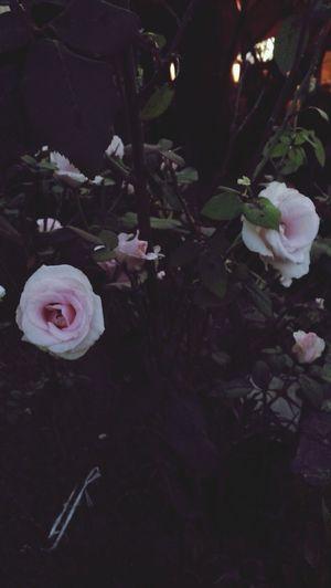 Roses Rosé Rosas <3