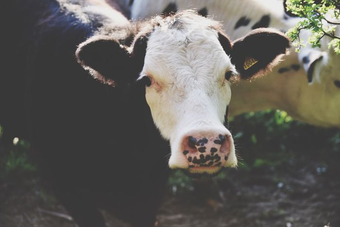 Cow Cows Cattle Bull Farm Farm Life Farm Animals Cotswolds Broadway