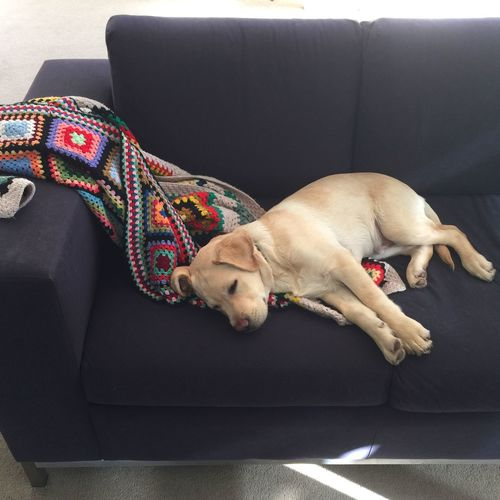 Puppy Naps on the Best Seat In The House lucky I Love My Dog Labrador Miltonbiscuit Pet Portraits