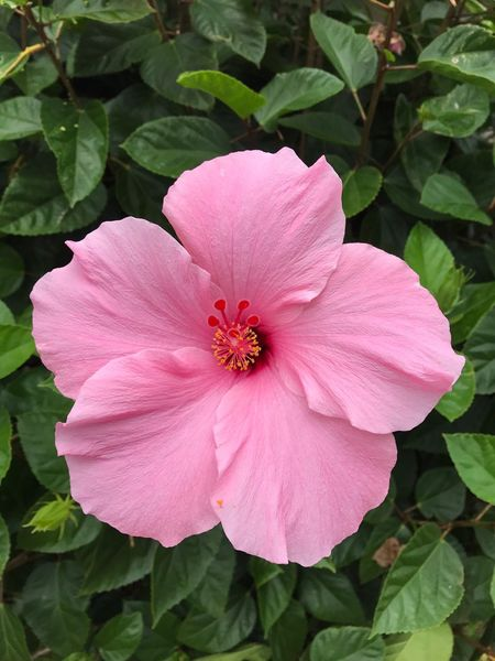 Flower Petal Flower Head Plant Pink Color Fragility Nature Growth Freshness No People Beauty In Nature Day Close-up Leaf Outdoors Blooming Hibiscus Pink Pink Hibiscus Flower Hibiscus Close-up Hibiscus 🌺