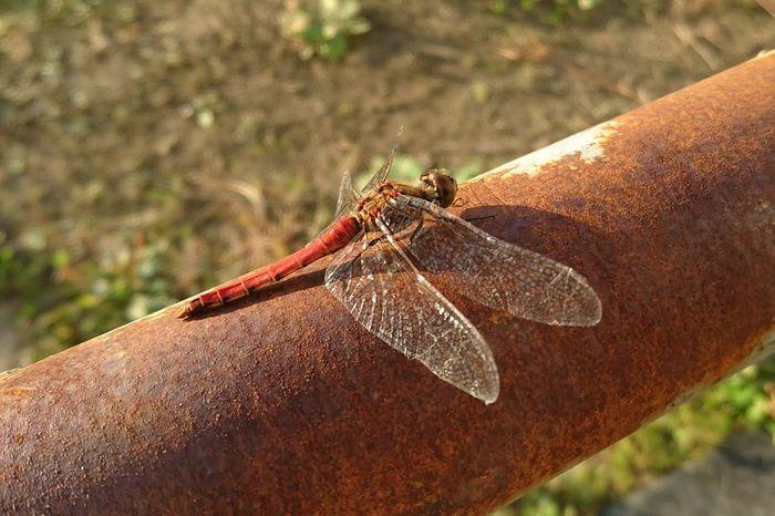 Nature トンボ 蜻蛉 秋色