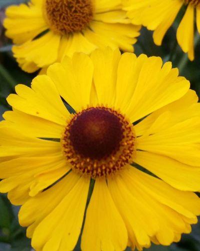 Sonnenhut Blumen Flowers Yellow Yellow Flowers Summertime InTheGarden Inmygarden Walking Around Sommergefühle Paint The Town Yellow
