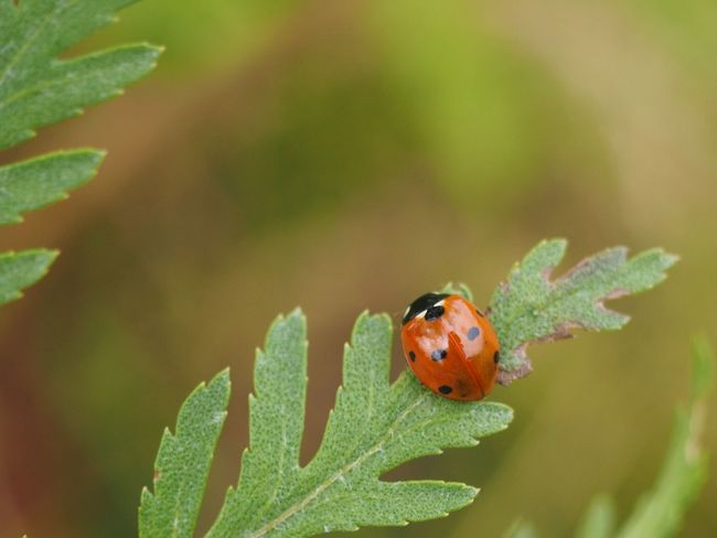 Animal Themes Animal Animal Wildlife Invertebrate Animals In The Wild Insect One Animal Ladybug Beetle Close-up Plant Part Plant Leaf Day Nature No People Green Color Spotted Small Outdoors Olympus Beauty In Nature Focus On Foreground