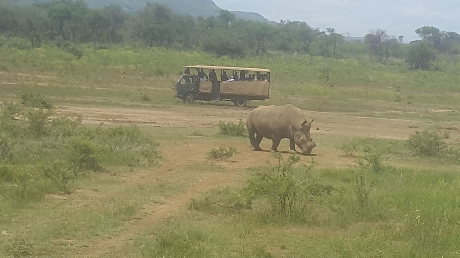 Rhinoceros Animals In The Wild Mammal Outdoors Nature Beauty In Nature No People Endangered Animals Save The Rhinos Under African Sun Safari Drive at Askari Lodgein Johannesburg South Africa