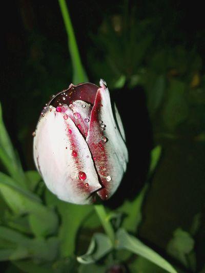 #Tulipany# #flowers #Tulipany #flora #night Shoot