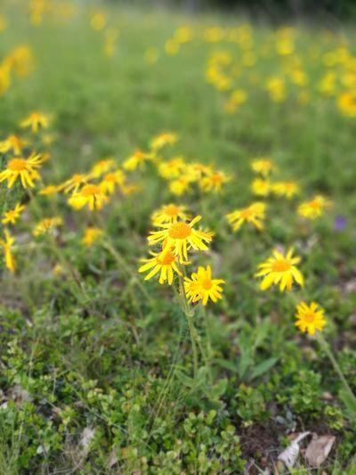Flower Arnica Montana Wilderness