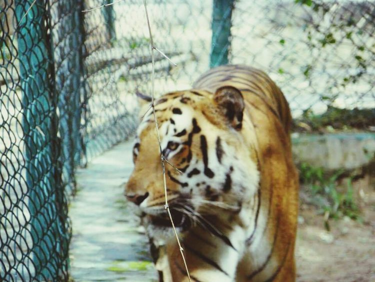 Wildlife Photography Tiger Face Eye Of The Tiger EyeEm Best Shots OpenEdit
