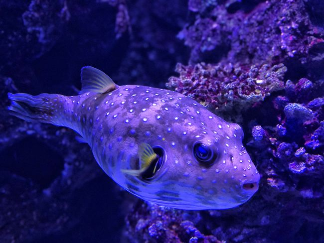 Puffer Fish Great Barrier Reef Coral Pufferfish Puffer Fish Animal Wildlife Animal Animals In The Wild Animal Themes Sea Water Fish Underwater UnderSea Swimming Sea Life One Animal Marine Purple Nature No People
