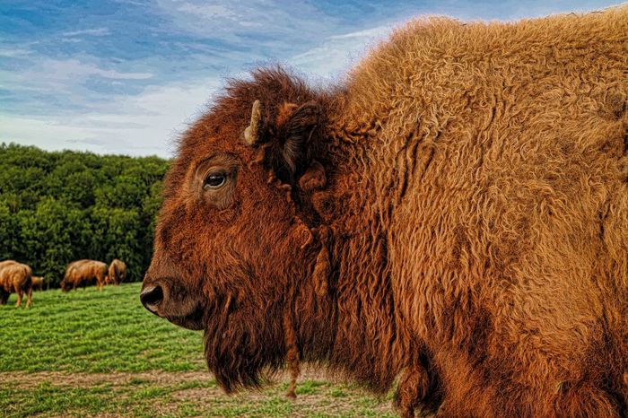 Farmer Farmland Hessen Germany Weide American Bison Animal Themes Bison, Buffalo, Blackbirds, Wyoming, Wild, Animal, Horns, Fur, Raw, Brown Cattle Cow Day Domestic Animals Field Grass Grazing Highland Cattle Livestock Mammal Nature No People One Animal Outdoors Sky