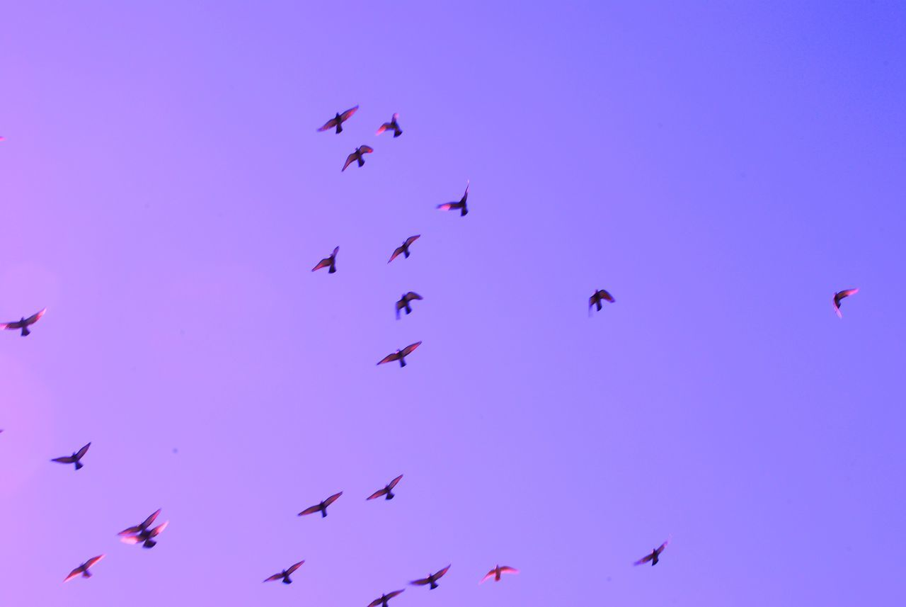 group of animals, animal, animal themes, flying, vertebrate, bird, animals in the wild, animal wildlife, large group of animals, low angle view, sky, mid-air, flock of birds, blue, nature, no people, beauty in nature, spread wings, motion, day, purple, eagle