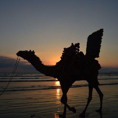 Life on a beach ForTheLoveOfSunsets Beautifulskyseries Ig_pakistan Igers_pakistan igersKarachi nofilter Silhouette VscoPakistan Camel Vsco vzcopakistan vscogrid vscocam mybeachdiaries