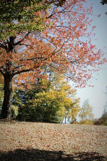 Autumn... Tree