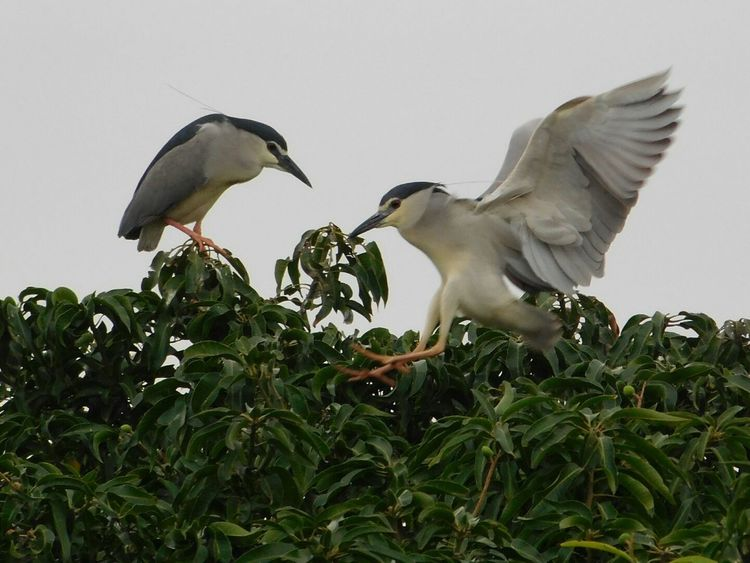 Birds_collection Animal Wildlife Bird Flying Nature Spread Wings No People Animal Themes Outdoors Animals In The Wild Night Heron Two Birds Beauty In Nature Nature Freshness Leaf Birds Of EyeEm  Bird Watching Bird Photography No Edit/no Filter