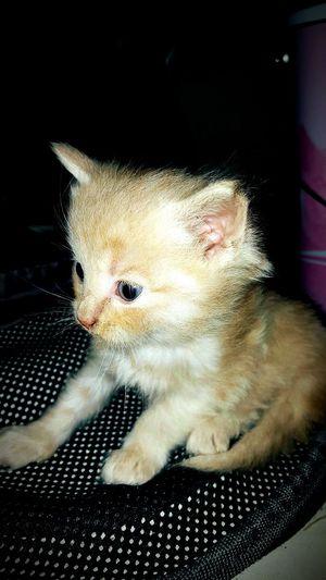 Chaton ♥ Norvegien Cat Race Roux Unchatroux Magnifique