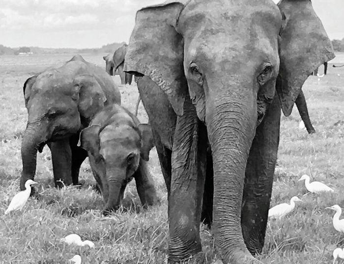 Elephant Grass Beauty In Nature Animals In The Wild African Elephant Samsung Galaxy S7 Sri Lanka Holiday2017 Black & White Safari Minneriya National Park