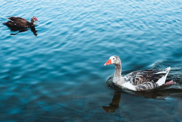 Two ducks swimming in lake