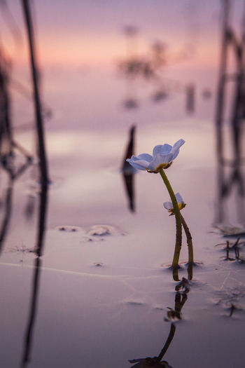 Close-up of flowering plant against lake during sunset