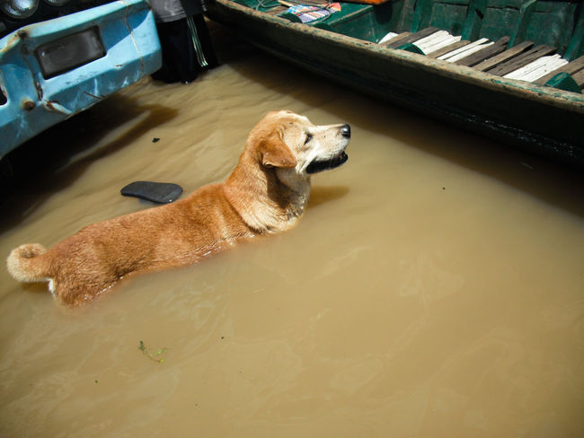 A dog is lost to the owner while flooding Lost Animal Themes Beagle Day Dog Domestic Animals Flood Flooding High Angle View Indoors  Mammal No People One Animal Owner Pets Relaxation Water Wet While