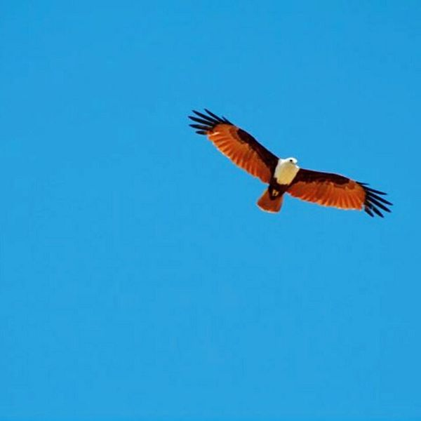 Flying high Cobalt Blue By Motorola Eye4photography Bird Photography Birds Eagle Naturephotography Wildlife Nature