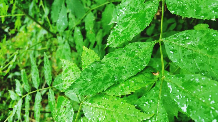 Leaves Wet Fresh Rain Raindrops On Leaves Closeup In Nature Samsung Galaxy Note 4 Green Color Green Nationalhistorymuseum