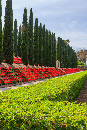 Decorative fence of green bushes, geraniums and rows of trees in the city park Bahai Gardens Blue Bush City Decorative Floret Flowers Garden Geranium Grass Green Color Lighter Nature Park Parkland Plant Red Sculpture Shrubs Skies Stone Tourish Travel Tree Tree
