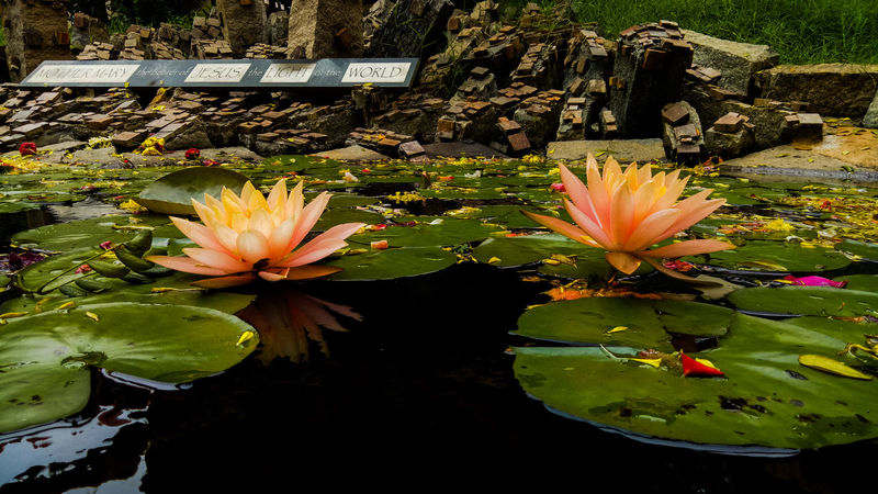 Two of a kind Water Lily Water Pond Freshness Flower Floating On Water Flower Head Fragility Beauty In Nature Plant Outdoors Petal Lily Pad Lotus Water Lily Nature EyeEmNewHere EyeEm Selects The Week On EyeEm Art Photography EyeEmBestPics EyeEm Best Shots Reflection Water Reflections Life In Colors Flowers And Plants