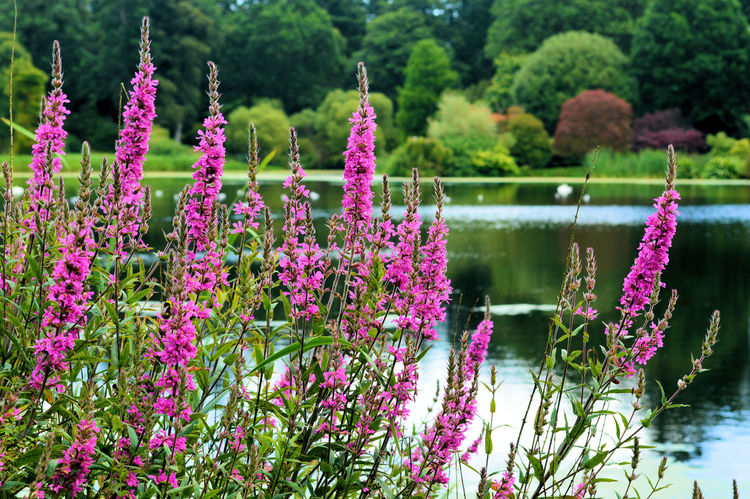 Beauty In Nature Blooming Blossom Fireweed Flower Flower Head Fragility Freshness Growth In Bloom Lakeside Mount Stewart Mount Stewart Gardens Mount Stewart National Trust Nature No People Outdoors Petal Pink Pink Color Plant Rose Bay Willow Herb Tranquil Scene Tranquility Water
