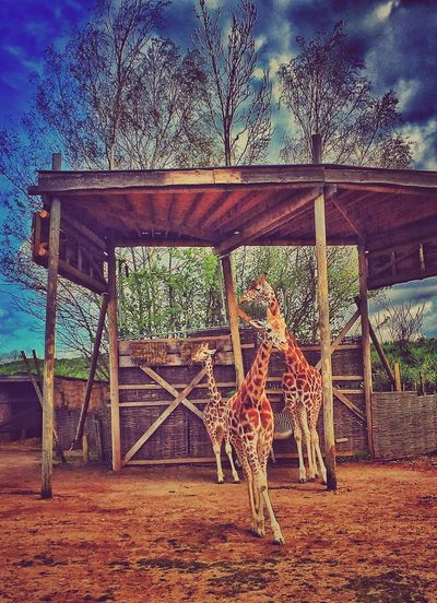 Another pic from Chessington World Of Adventures of the Giraffes EyeEm Best Shots Eye4photography  EyeEmBestPics Snapseed Check This Out