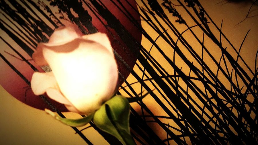 My first rose Kisses Utopia My Thang Roses