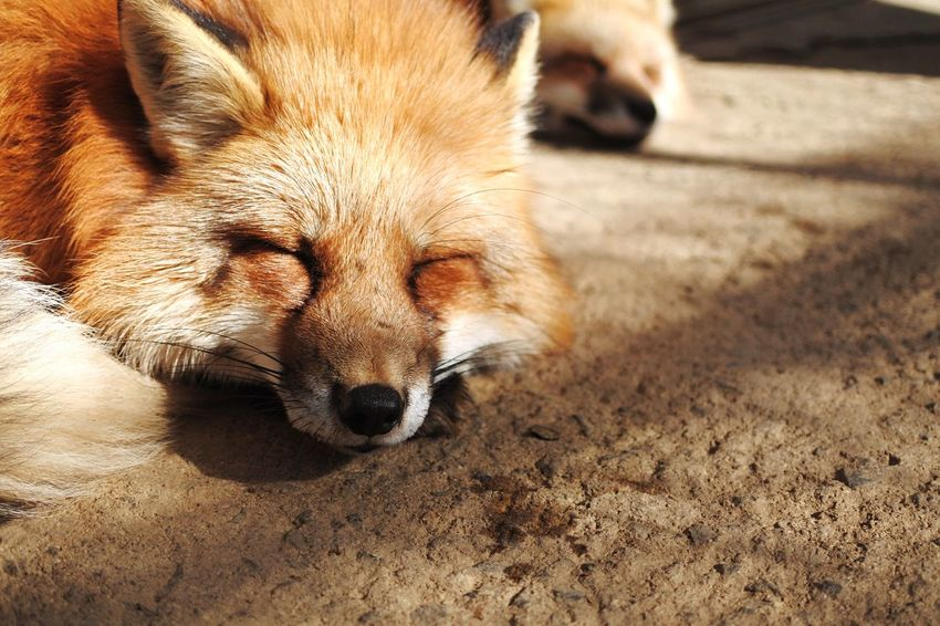 One Animal Animal Themes Dog Mammal Pets Domestic Animals Sleeping Lying Down Tired No People Relaxation Close-up Day Outdoors Winter Fox Fox🐺 Foxes Nature