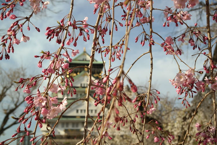 Plant Growth Beauty In Nature Focus On Foreground Day No People Nature Tree Branch Flowering Plant Close-up Outdoors Flower Tranquility Freshness Selective Focus Plant Part Leaf Pink Color Fragility Osaka Castle Sakura Japan OSAKA