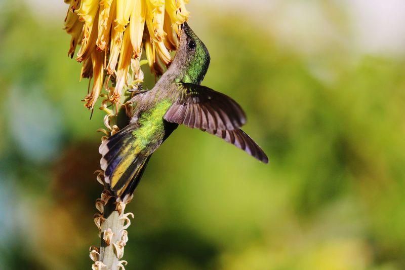 Colibri in