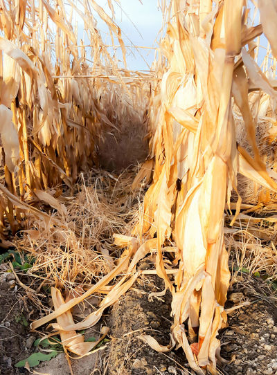 Darkness down the row Lingle Wyoming Agriculture Corn Day Field Nature No People Outdoors Stalker