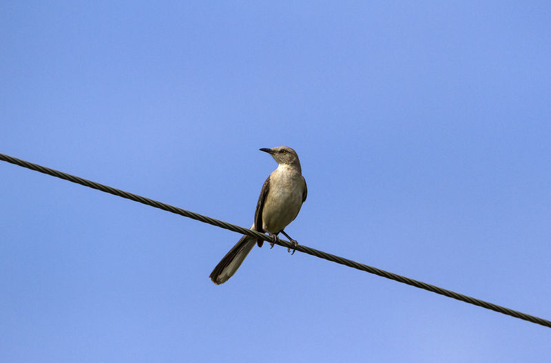 Animal Themes Animal Wildlife Animals In The Wild Bird Mimuspolyglottos Northern Mockingbird One Animal