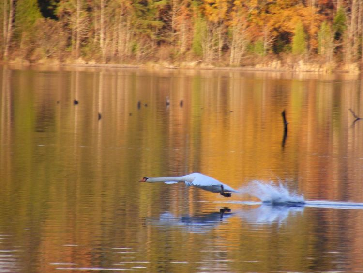 Curtis Lake Stafford County Va Animals In The Wild Bird Animal Themes One Animal Lake Water Reflection Animal Wildlife Spread Wings Waterfront Nature Day Flying Water Bird Beauty In Nature Outdoors Motion No People