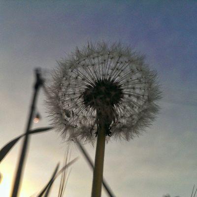 Found this one just dandelyin' around Ohsopunny Dandelion Silhouettes Sunset Springincapetown Spring Flower Nature Itsthesmallthings Cityofcapetown Igerscapetown Ig_capetown Instaholic Instagood