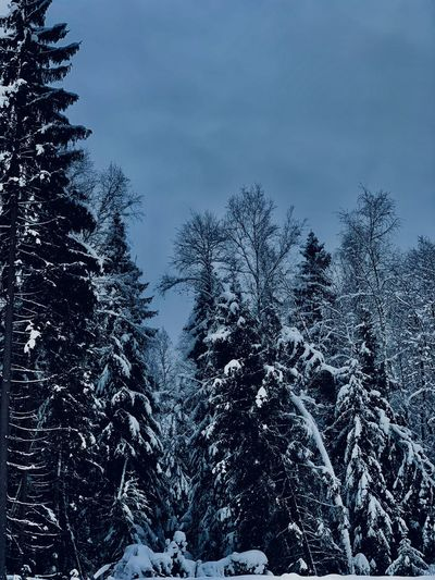 Nature No People Winter Wintertime Winter Wonderland Beauty In Nature Snow Cold Temperature Covering Tranquil Scene Scenics - Nature Snowing Snow Covered Russia Russian Winter Forest Winter Forest Winter Landscape WoodLand Non-urban Scene Land Coniferous Tree Pine Tree Environment Evening