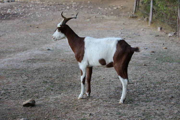 One Animal Animal Themes Animal Animal Wildlife Nature Outdoors Chèvres Chevre